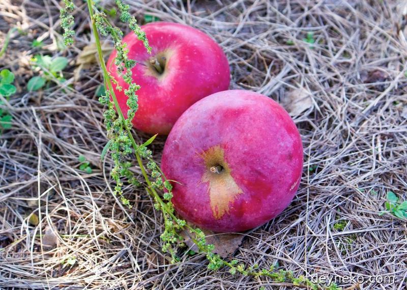 сорт яблок Макинтош