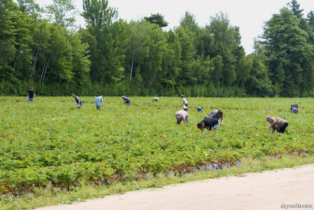Канада сбор ягоды на ферме