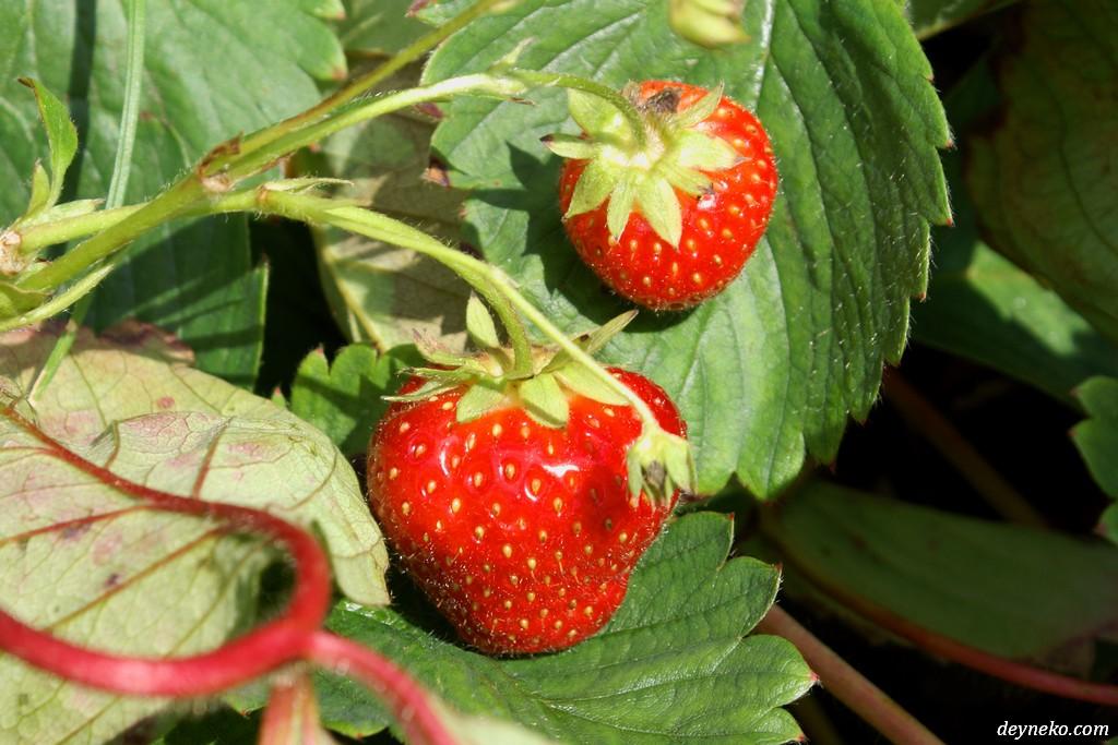 За малиной и клубникой на ягодную ферму возле Монреаля!