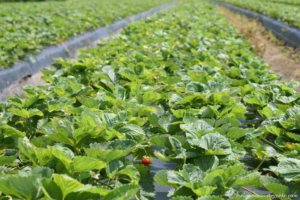 Квебек - ягодная ферма