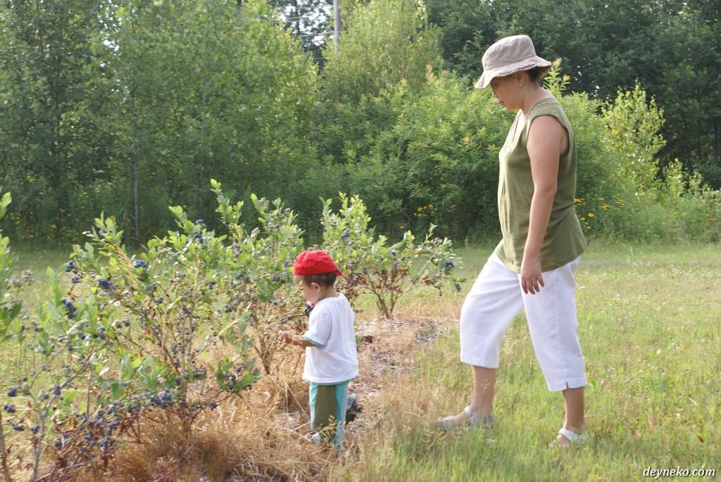 Дети на плантации голубики должны быть под присмотром