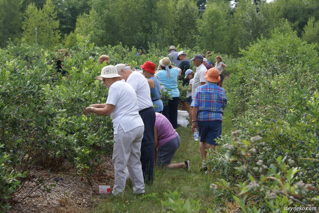 Квебек - ягодная ферма, сбор голубики