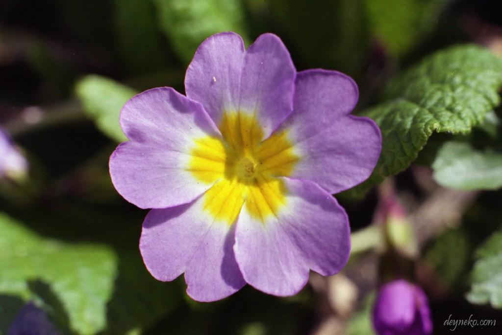 Первоцвет обыкновенный или Примула