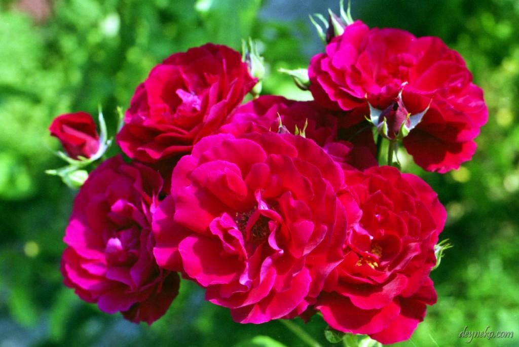 Что может быть лучше красных роз?