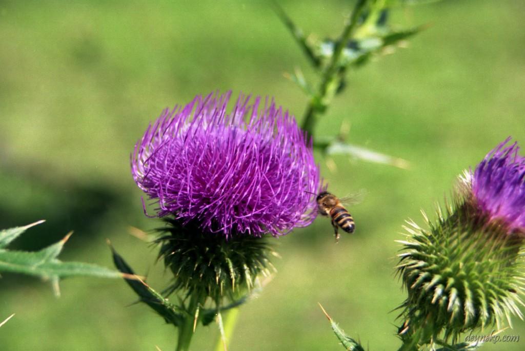 пчела собирает нектар с расторопши