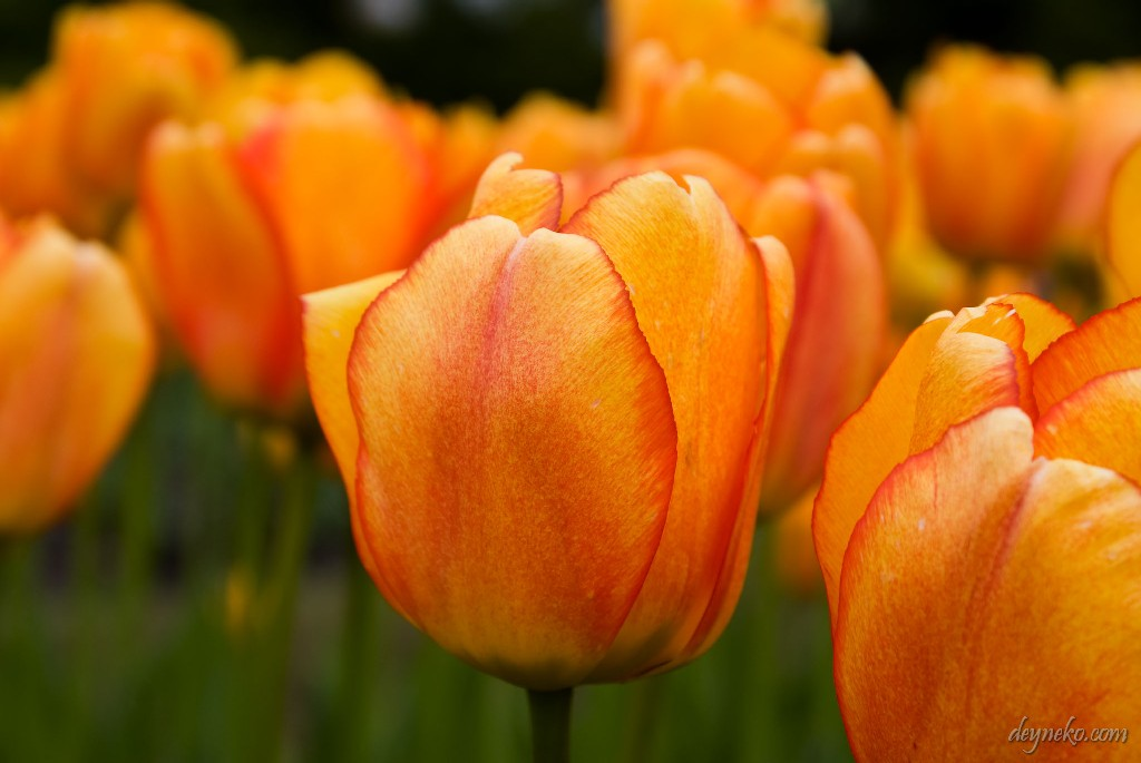 тюльпан Blushing Apeldoorm