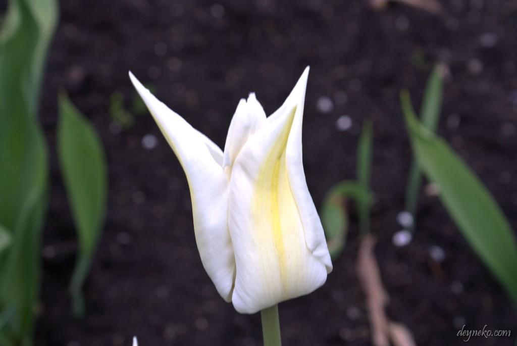 тюльпан Белый триумфатор