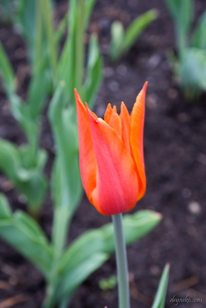 тюльпан Балерина