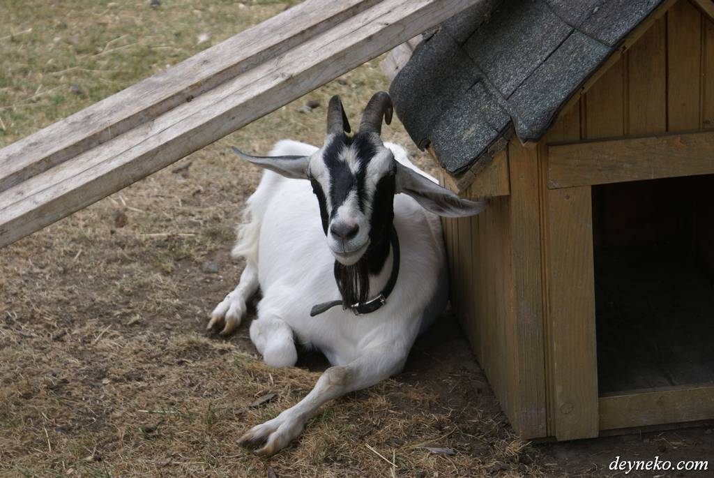 The goat with satisfied eyes