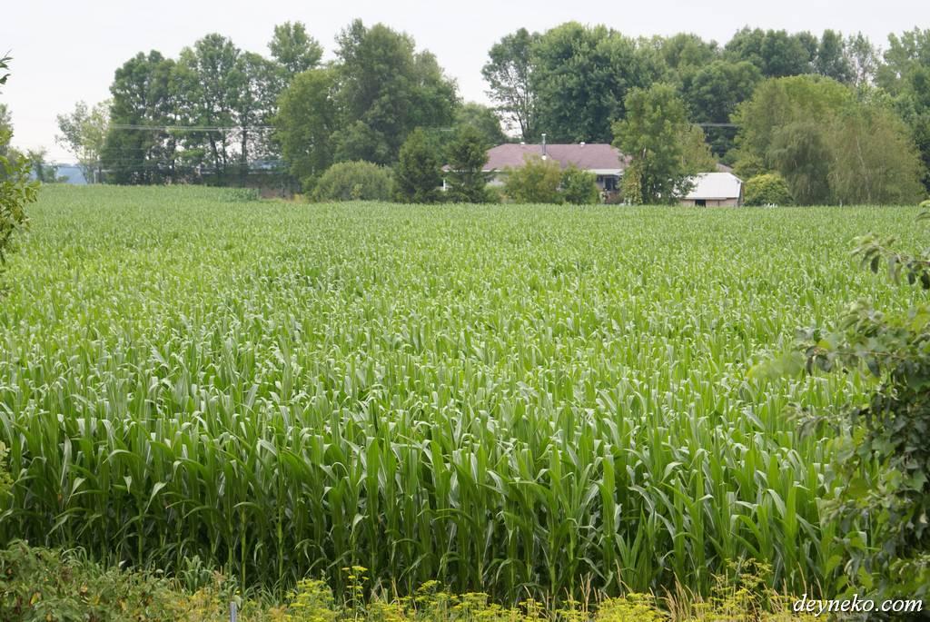 кубанский пейзаж с кукурузой в канаде